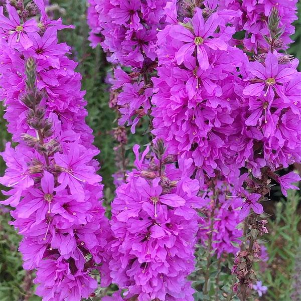 Lythrum salicaria - Purple Loosestrife