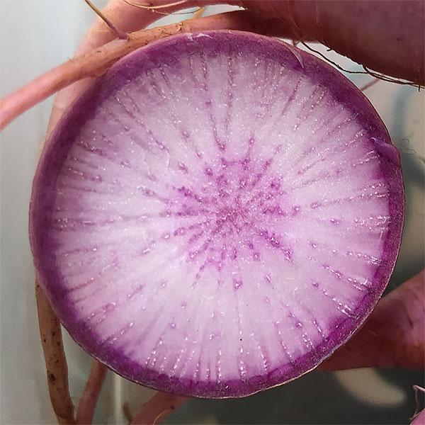 Mini Purple Daikon Radish