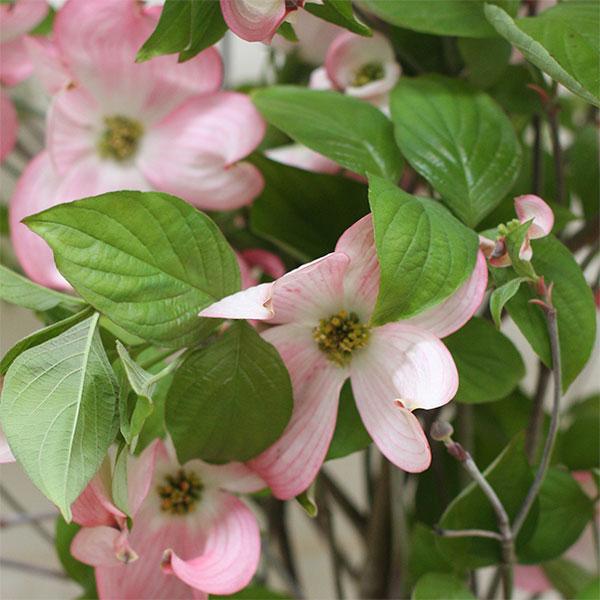 Cornus florida 'Rubra' - Oink Flowering Dogwood