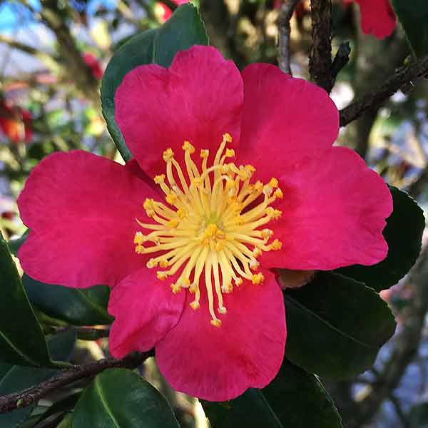 'Yuletide' - A small Growing Camellia