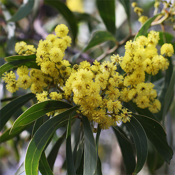 Golden Wattle - Acacia pycnantha