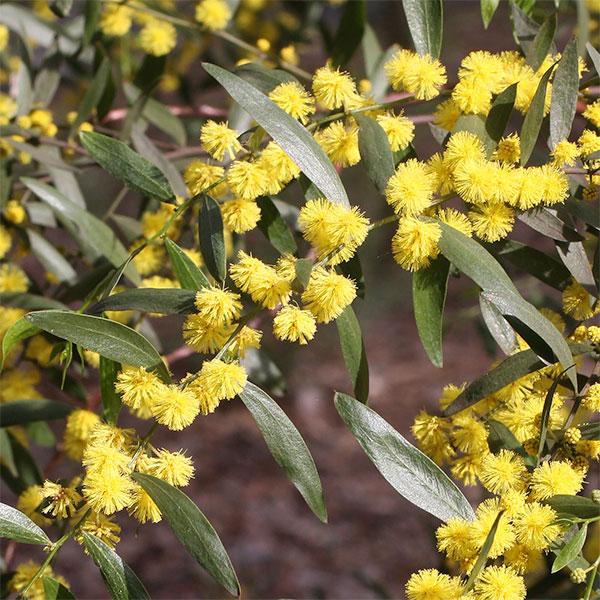 Acacia verniciflua - Varnish Wattle