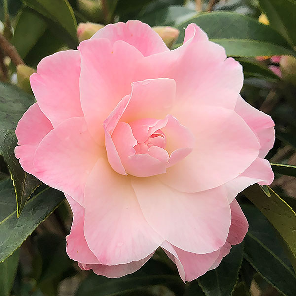 Camellia 'Buttons n Bows'