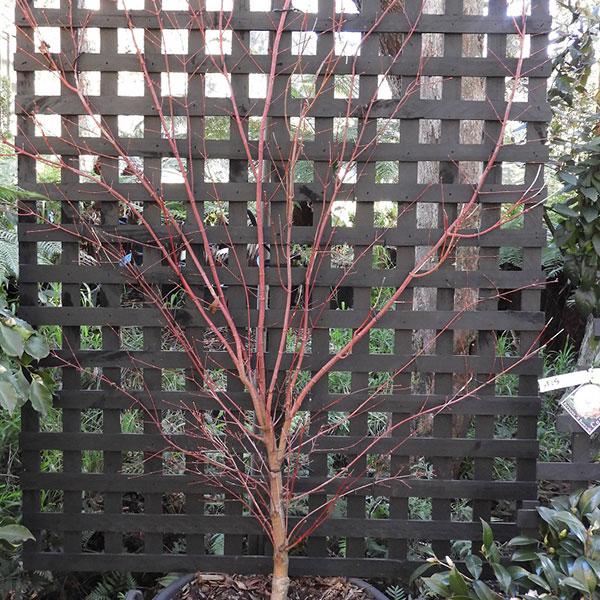 Coral Bark Maple as Espalier
