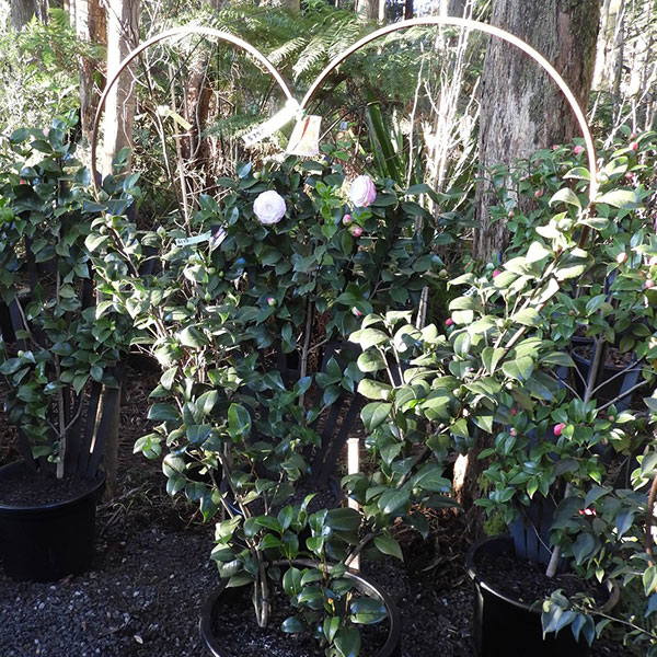 Espalier Camellia - Heart Shaped