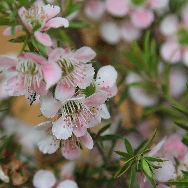 Leptospermum Variety