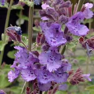 Nepeta Species