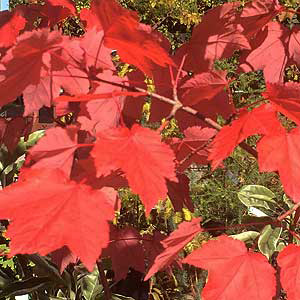 Acer rubrum - Lipstick Maple