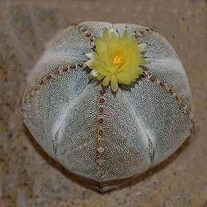Astrophytum Species