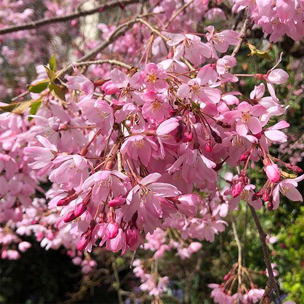 Weeping Cherry Tree Japanese Weeping Cherry Trees At Nurseries Online