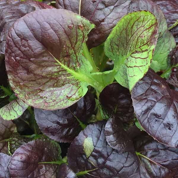 Red Komatsuna - Mustard Spinach