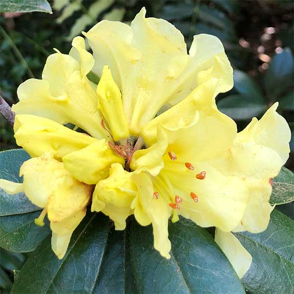Rhododendron chrysomanicum - Dwarf Yellow Flowering