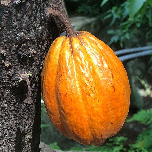 Theobroma cacao - Cocoa Bean Fruit