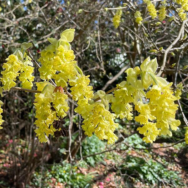 Corylopsis sinensis - Chinese Winter Hazel