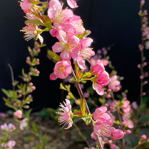 Prunus glandulosa 'Rosea'