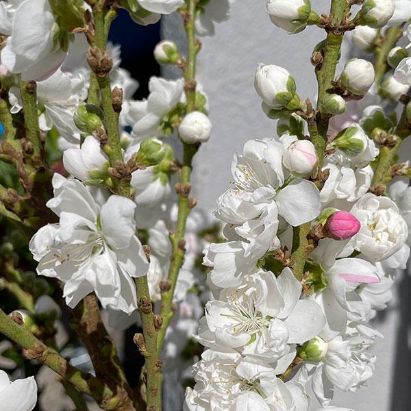 Peach Tree - Prunus Persica